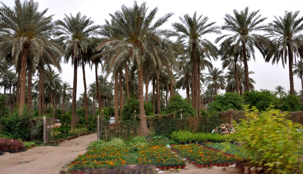 وزارة التخطيط العراقية  تكشف عن وجود زيادة في انتاج التمور خلال العام الماضي