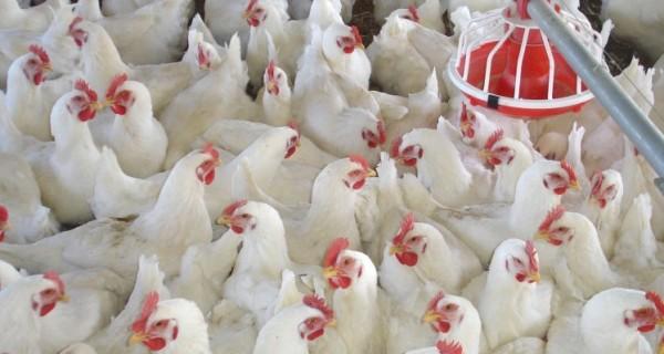 الزراعة ترفع حظر دخول الدواجن من الاقليم