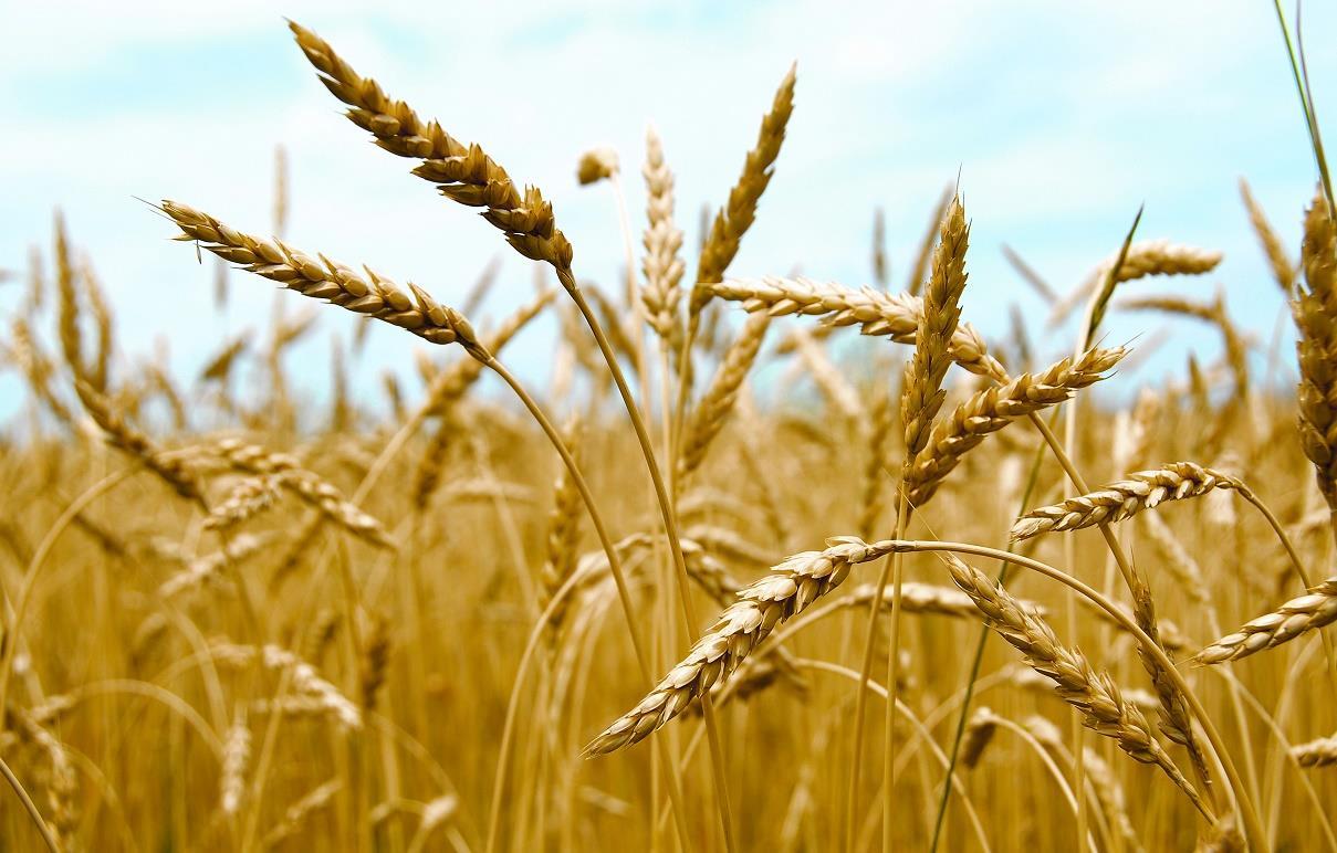 الامطار الغزيرة تتلف آلاف الدوانم من الحنطة في النجف الاشرف