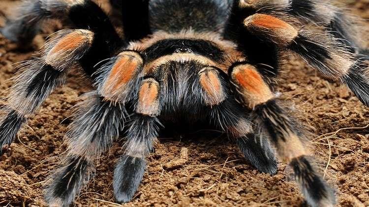 عنكبوت أسترالي يحطم الرقم القياسي لطول العمر