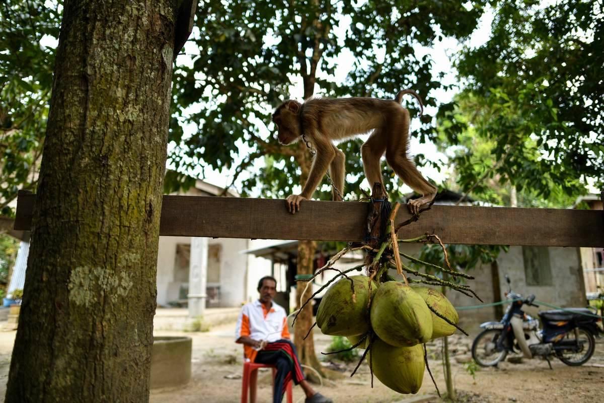 قرد ينهي حياة عجوز بثمرة جوز الهند