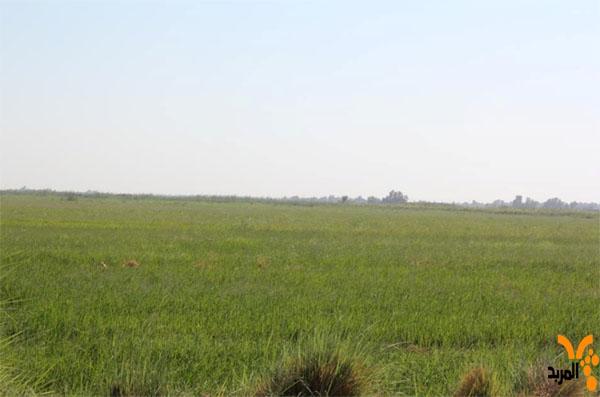 الموارد المائية :في المثنى تؤكد اكمال الرية الأولى للموسم الزراعي