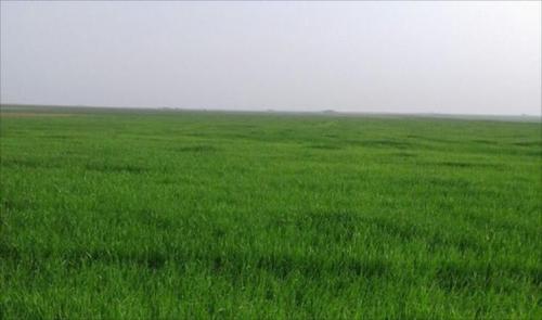 الأمطار تدخل 800 الف دونم لزراعة الحنطة وقرار صادم للموارد