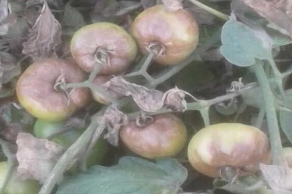 وزارة الزراعة تنفي إصابة حقول الطماطم في البصرة بوباء مجهول