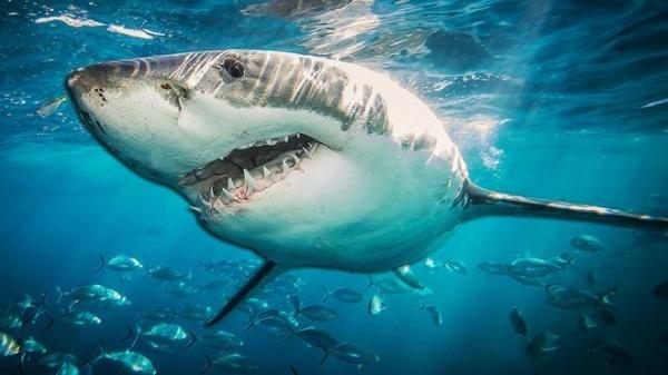 أسماك القرش تحمل سر علاج أمراض الشيخوخة