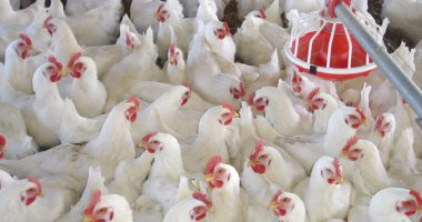 إرتفاع أسعار الدجاج في السليمانية وقرار حكومي