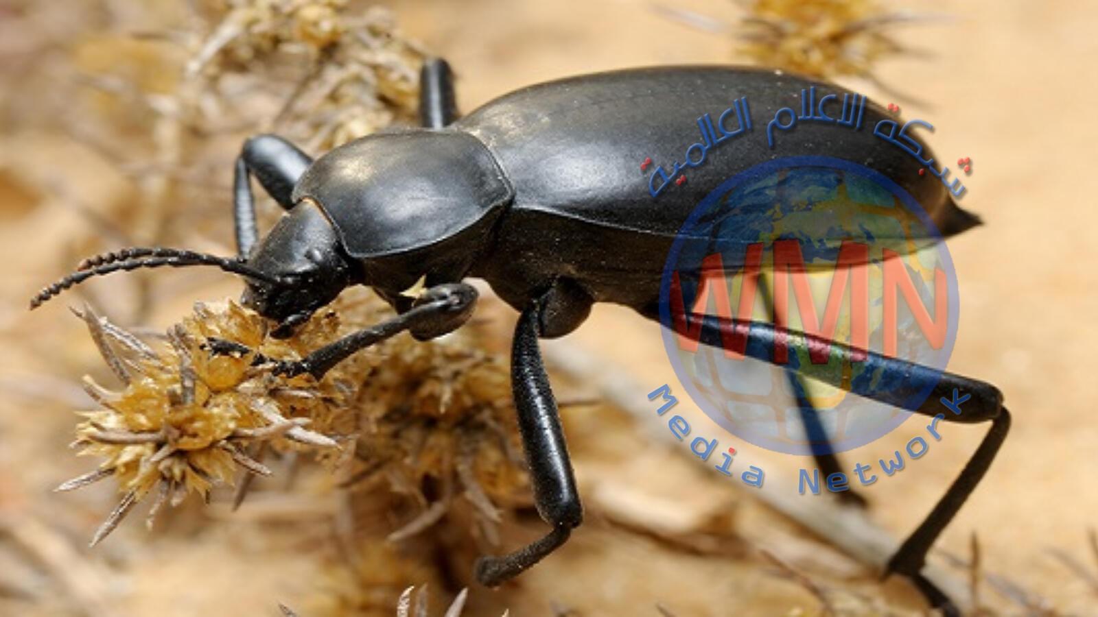 معلومات قد لا تعرفها عن حشرة الخنفساء السوداء