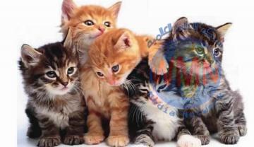 سلطات استرالية تسمم مليوني قطة