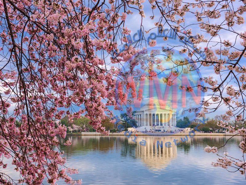 أشجار الكرز في واشنطن تجذب أكثر من مليون زائر سنويا… والسّبب؟