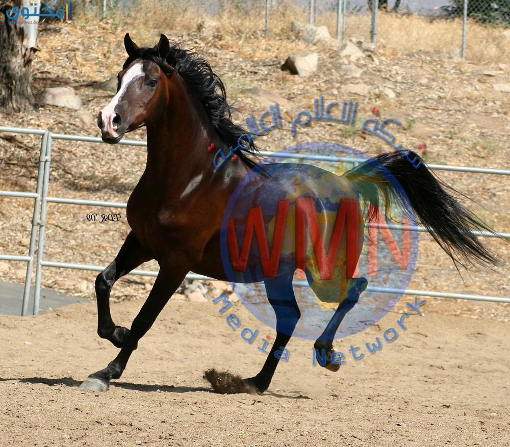 منع استيراد الخيول من تركيا الى كردستان