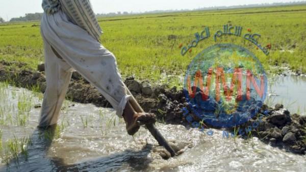 وفرة المياه تعيد زراعة الشلب في النجف بنسبة 100%