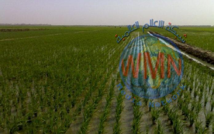 واسط تزرع 50 الف دونم من اراضيها بالشلب