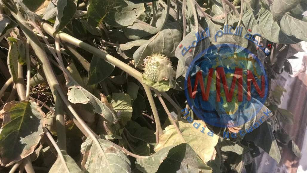 شرطة الديوانية: ضبط أرض لزراعة نبات الخشاش السام والمخدر