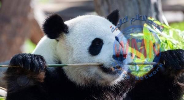 """ذكر باندا يسافر من أميركا إلى الصين في """"مهمة إنقاذ"""""""