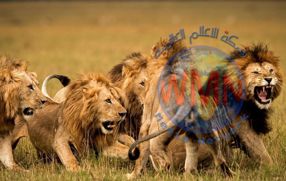 مجزرة وحشية لـ 16 أسداً في أفريقيا