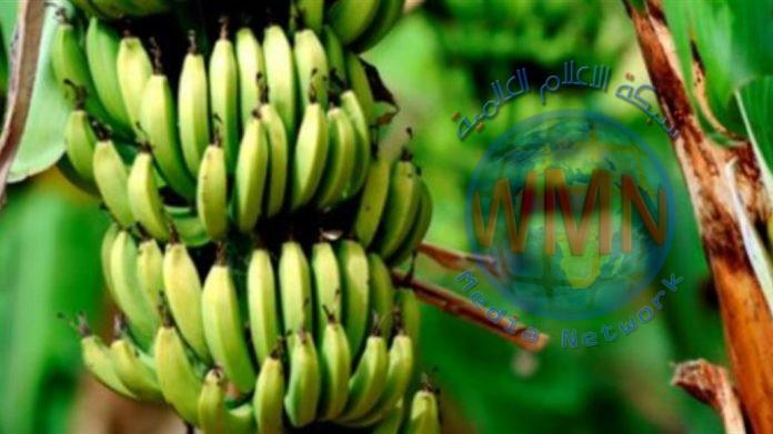 """ديالى تبدأ محاولات لزراعة """"الفاكهة النادرة"""""""
