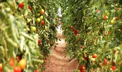 زراعة الاقليم تصدر قرارين على الأسماك وإستيراد الطماطم