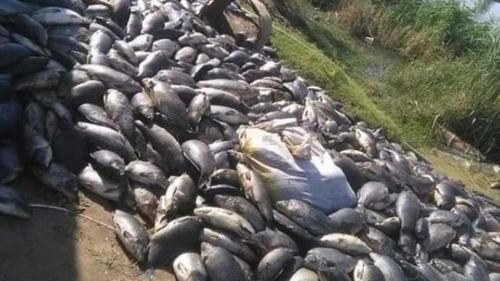 الزراعة تكشف رواية غريبة عن نفوق الأسماك في الديوانية