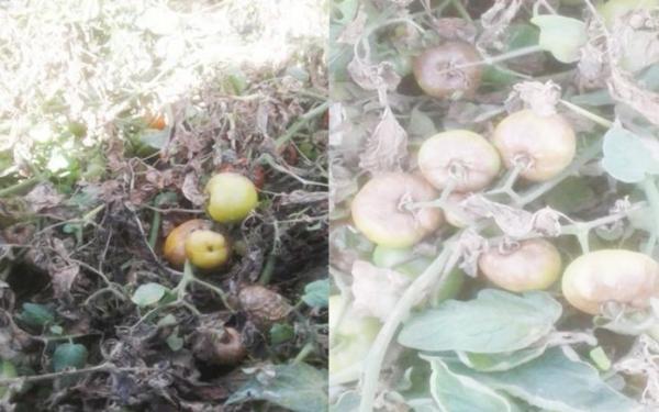 وباء مجهول يفتك بمزارع الطماطم وتواقيع لإستضافة وزير الزراعة